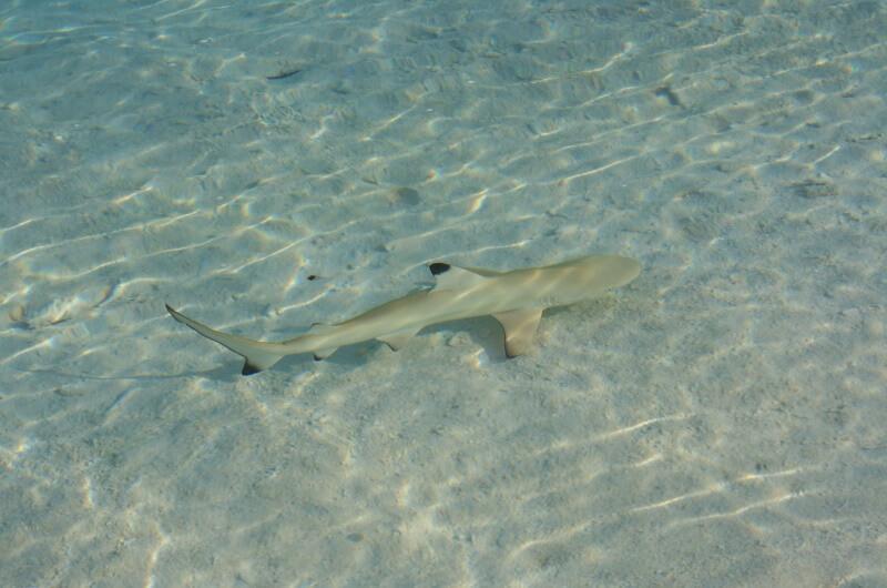 djurlivet på maldiverna - hajar
