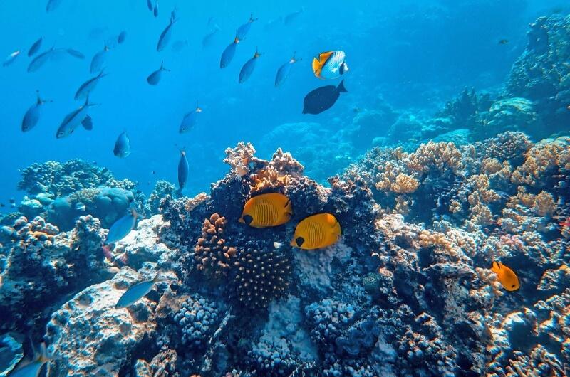 djurlivet på maldiverna - korallrev