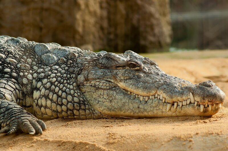 djurlivet på maldiverna - krokodil