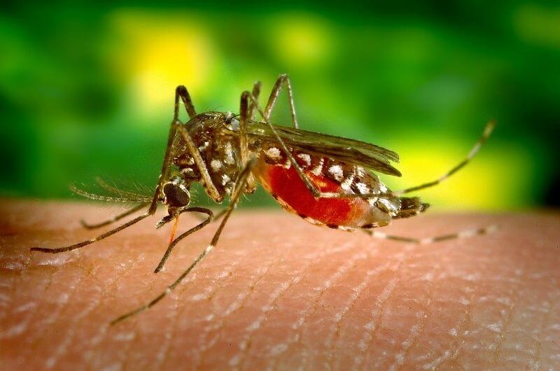 djurlivet på maldiverna - mosquitoes