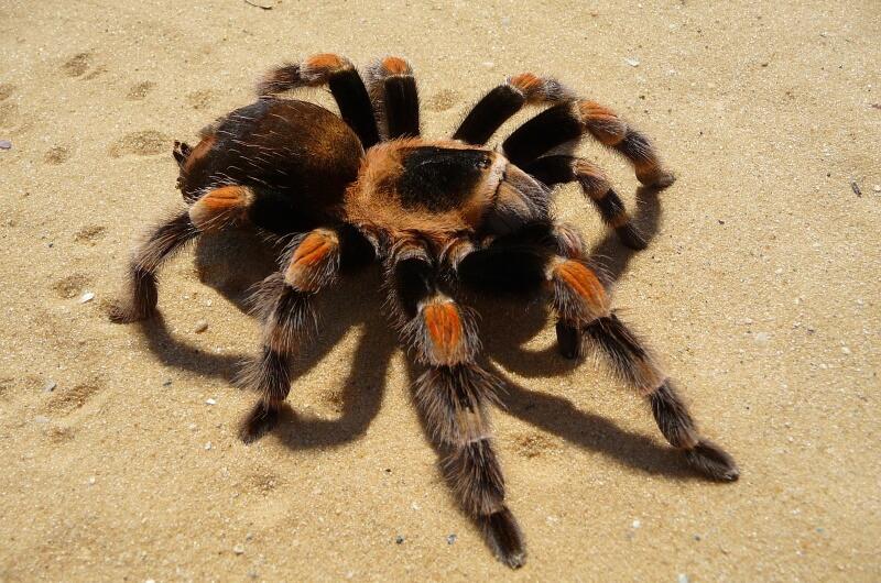 djurlivet på maldiverna - spindlar