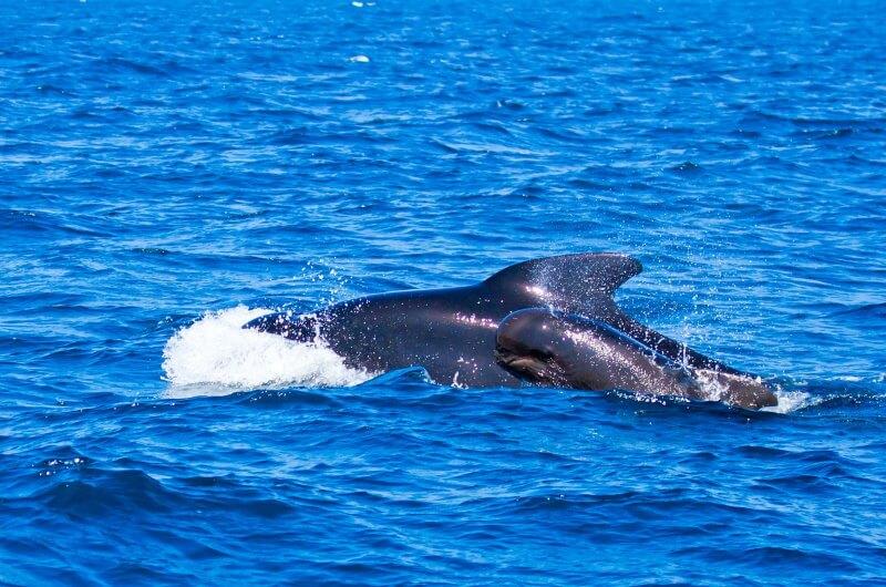 djurlivet på maldiverna - valar
